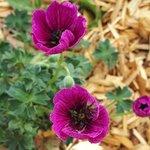 Géranium cinereum 'Jolly Jewel Purple'