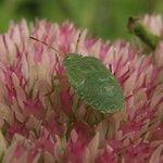 Punaise - Heteroptera