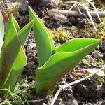 Tulipe - Tulipa