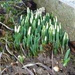 Perce-neige - Galanthus nivalis