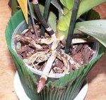 Phalaenopsis - Orchidée papillon
