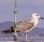 Goëland - Oiseau