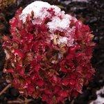 Hortensia - Hydrangea macrophylla