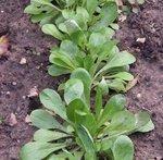 Mâche - Doucette - Salade