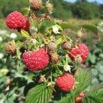 Framboise - Rubus idaeus