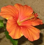 Hibiscus rosa sinensis - Hibiscus - Rose de Chine - Rose de Cayenne