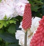 Kniphofia - Faux Aloes - Tritoma