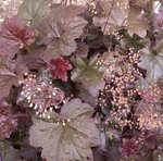 Heuchère pourpre - Heuchera micrantha 'Palace Purple'