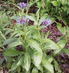 Centaurée - Bleuet - Centaurea
