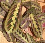 Maranta  leuconeura - Dormeuse