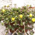 Pourpier à grandes fleurs - Portulaca grandiflora