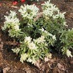 Pieris japonica 'Little Heath' - Andromède