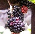 Mûre - Rubus fruticosus