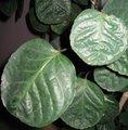 Polyscias scutellaria  'Fabian' - Aralia 'Fabian'