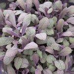 Sauge officinale 'Purpurascens' - Salvia officinalis