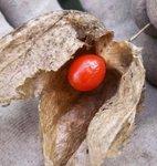 Amour-en-cage - Physalis - Coqueret du Pérou - Lanterne japonaise ou chinoise