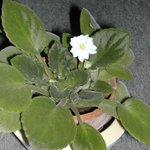 Saintpaulia - Violette du Cap - Violette africaine
