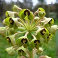 Euphorbe characias - Euphorbia