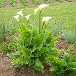 Arum d'Ethiopie - Zantedeschia aethiopica