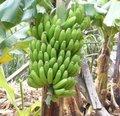 Bananier - Musa