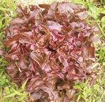 Laitue 'Feuille de chêne' - Salade