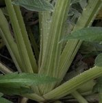 Céleri à côtes - Céleri-branche