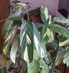 Ctenanthe lubbersiana - Phrynium