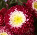 Reine-Marguerite 'Lilliput' - Callistephus chinensis