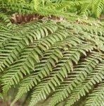 Fougère arborescente - Dicksonia antartica