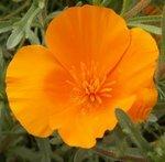Pavot de Californie - Eschscholzia californica