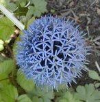 Chardon bleu - Boule azurée - Echinops ritro - Boule bleue