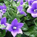 Platycodon grandiflorus - Fleur ballon - Campanule à grandes fleurs