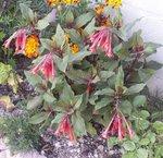 Fuchsia 'Fulgens'