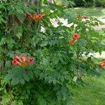 Bignone - Campsis radicans - Jasmin de Virginie
