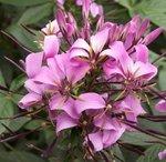 Cleome - Fleur araignée
