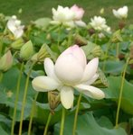 Lotus - Nelumbo nucifera