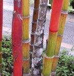 Palmier à tronc rouge - Cyrtostachys lakka
