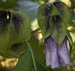 Faux coqueret - Nicandra physalodes