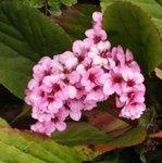 Bergenia cordifolia - Plante des savetiers