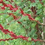 Rosier épineux - Rosa sericea 'Pteracantha'