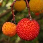 Arbousier - Arbutus unedo - Arbre aux fraises