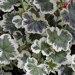 Pélargonium au feuillage décoratif