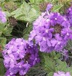 Verveine des jardins - Verbena