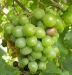 Raisin - Vitis - Vigne