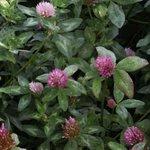 Trèfle rouge des prés - Trifolium pratense