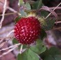Faux-fraisier - Duchesnea indica