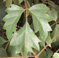 Vigne d'appartement - Cissus rhombifolia - Rhoicissus