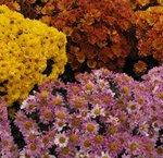 Chrysantheme des jardins - Marguerite des jardins