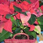 Poinsettia - Etoile de Noël - Euphorbe pulcherrima