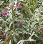Buddleia davidii - Arbre aux papillons